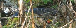 Alligator - gut versteckt