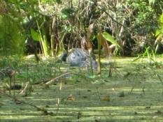 ...ist ein Riesen-Alligator